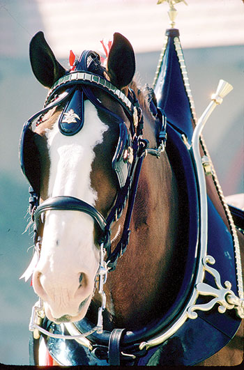 World-renowned Budweiser Clydesdales to appear in Forest City