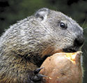 Grady's Groundhog Day Shadow  Sighting February 2 in Chimney Rock